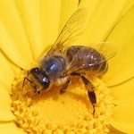 Frustrated Bees that die from Hopelessness and Despair